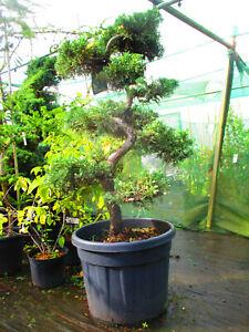 5ft Juniper dauvarica varigata CLOUD TREE - Evergreen - 50litre - 9 clouds