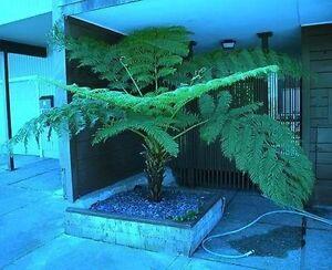antarktischer Baumfarn winterharte schnellwüchsig Exoten Palmen für den Garten !