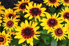 200 Seeds Denver Rudbeckia Hirta Black Eyed Susan Perennial organic +gift