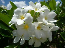 "Exotic. Plumaria obtusa"" Singapore White"" Frangipani. Cutting."