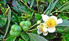 50 Graines Camellia sinensis var sinensis Tea seeds