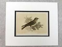 1853 Antico Stampa a Pois Flycatcher Uccello Ornitologia Originale Vittoriano