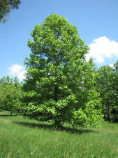 Tulip Poplar Tree - Flowering Healthy Established Rooted 1 Plant in 1 Gallon Pot