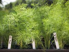 Foeniculum vulgare Pictorial Packet Herb Green Fennel Suffolk Herbs