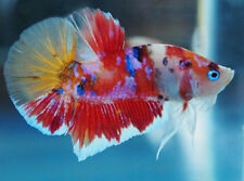 Young to grow on x10 HMPK Betta Males & Females (Siamese Fighting Fish)