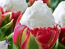 Ice Cream Tulip Flower Bulbs - 4 bulbs most beautiful flower seeds