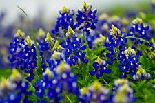 Beautiful Texas Bluebonnet! 25 Seeds! BRIGHT BLUE! Combined S/H! SEE OUR STORE!