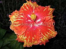 """Local Farmer Rare RED Colors""""Giant Hibiscus Exotic Coral Flowers 50 Seeds"""""""
