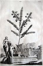 MYRTE MYRTUS TARENTINA ABRAHAM MUNTING 1696 PRACHTVOLLER ORIGINAL -KUPFERSTICH