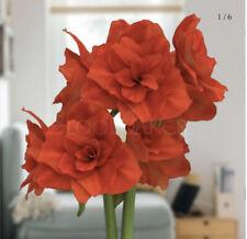 1 Large Red Heirloom Double King Amaryllis Bulb ~ Stunning Bulbs