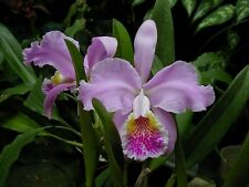 Rare orchid species seedling - 1x Cattleya tenebrosa