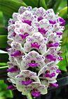 100pcs Mixed colors Rare Cymbidium orchid African Cymbidiums seeds bonsai flower