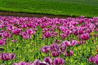 2000/4000 Graines de Fleurs PAVOT DE CALIFORNIE Violet Coquelicot Ressème