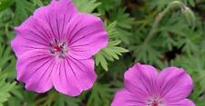 Hardy Geranium Tiny Monster in a 9cm pot