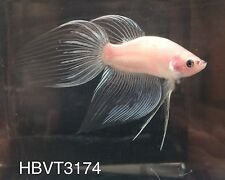 Stunning Cellophane Veil Tail Male Live Betta Fish Home Bred in NJ