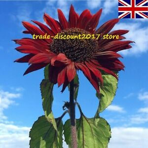 15 Seeds of Red Sun Giant Sunflower Helianthus Annuus Hardy Annual Flower Plant
