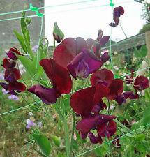 Lathyrus odoratus Black Knight 8 seeds