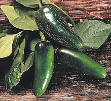 10 Semi/Seeds DI PEPERONCINO JALAPENO MUCHO NACHO JUMBO RARO MILD