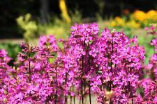 Die Heil-Nelke fördert das Wachstum der Blumen in ihrer Umgebung.