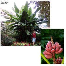 Rosa Banane für drinnen, Riesen-Banane für draußen - im Samen-Spar-Set !
