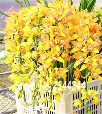 50Pcs/Lot semillas de flores Phalaenopsis orchid seeds rare Orchid Flower seeds