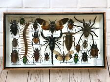 More details for insect display box tarantula spider scorpion beetle bug taxidermy wood case m