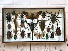 Insect Display Box Tarantula Spider Scorpion Beetle Bug Taxidermy Wood Case M