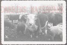 Vintage Snapshot Photo Cows & Pigs on Farm 693746