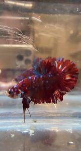 GIANT Male HMPK Koi Betta Fish