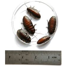 Madagascar Hissing roaches (2.5cm to 3.8cm) live food Dubia alternative