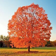 50pcs Green Mountain Sugar Maple Seeds Acer Saccharum Rock Tree Plants Register
