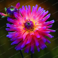 Rare Blue Purple Fireball Dahlia Flower Bulbs Perennial Plant Stunning Resistant