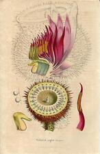 Stampa antica FIORI NINFEA Victoria regia dettagli1847 Old antique print flowers