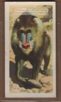Mandrill Primate Ape Old World Monkey Africa Vintage Trade Ad Card