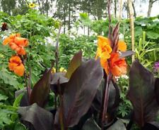 Canna Lily Wyoming. RHS AGM plant. Potted plants Purple leaves, 3 year old matur