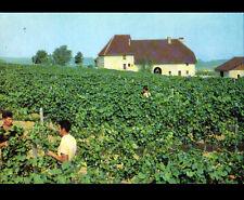ARBOIS (39) TRAVAIL en VIGNOBLE , DOMAINE de GRANGE GRILLARD / VINS Henri MAIRE
