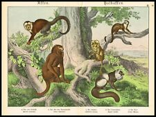 Howler Monkey, White-faced Capuchin, Black Lemur, Large Antique Print 1890