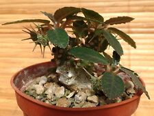 RARE 4 graines de DORSTENIA FOETIDA H444 CAUDEX FAT PLANT SEEDS SAMEN SEMILLAS