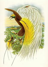 Antique Old Vintage GOULD Lithograph Art Print Exotic Tropical Bird of Paradise