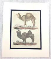 1827 Antico Mano Colorato Incisione Camel Dromedario Egiziano Cammelli Buffon