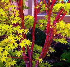 Rare 'Sango Kaku' Japanese Maple Seeds Acer palmatum 25 Seeds
