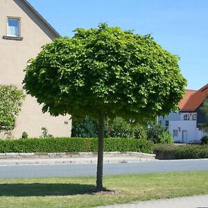 Acer platanoides Globosum Kugelahorn Hochstamm Kugelbaum verschiedene Größen