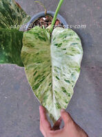 """RARE Philodendron White Variegates """"Ear Elephant"""" Succulent Plant +Free Phyto"""