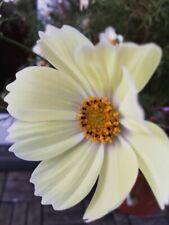 Cosmea Schmuckkörbchen Seidenblume Kunstblume weiß 67 cm N-12939-0 F64