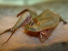 TRIOPS australiensis : (200+) high quality&pure eggs