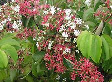 Heptacodium miconioides Seven Sons Flower Shrub Seeds!