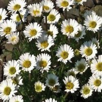 Erigeron- Rocky- 50 Seeds- BOGO 50% off SALE
