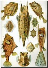 """ERNST HAECKEL CANVAS PRINT Art Nouveau Sea Fish 32""""X 24"""" Ostraciontes"""