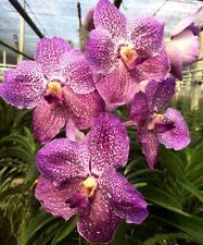 MOS. Orchid Vanda Vittawan Blue  (mericlone)