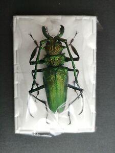 Vibrant green Psalidognathus friendi 75mm A1 male Prioninae Cerambycidae
